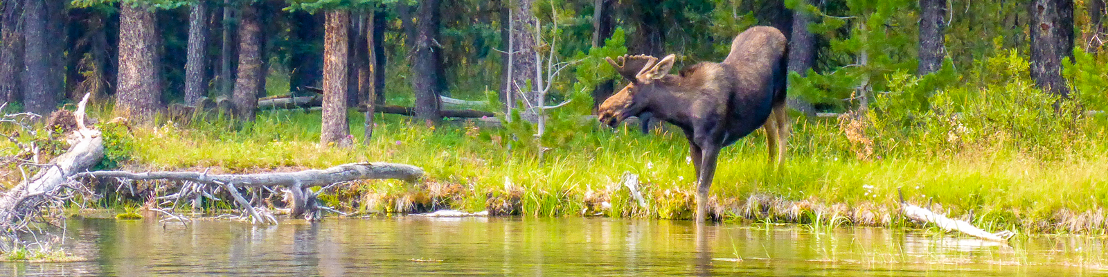 moose on the bank of a river